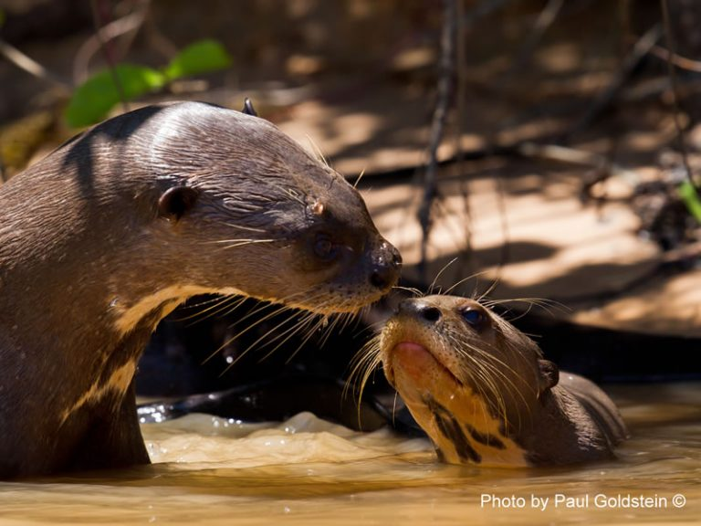 North Pantanal Cruise - Giant otter - by Paul Goldstein