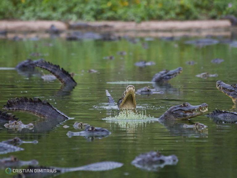 Aligators - By Cristian Dimitrius